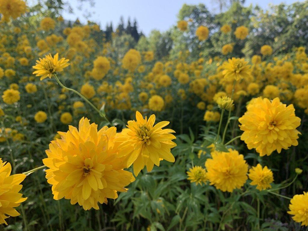 21.08.2021 Gelbes Blumenmeer